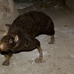 В Тверской области поймали гигантскую крысу - фото