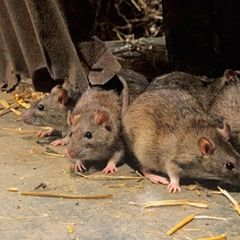 Города США атаковали оголодавшие на карантине крысы