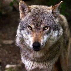 Лесник пожалел голодную волчицу. А через два месяца к деревне пришли три волка...