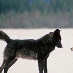 Он смотрел, как волк подошёл к собаке, а затем произошло неожиданное
