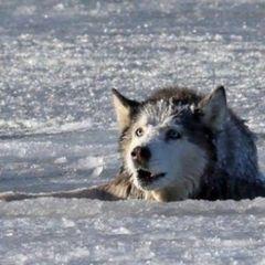 Видео: Волк спас провалившихся под лед детей