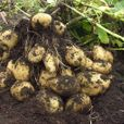 Всего одна процедура: как вырастить двойной урожай крупного картофеля