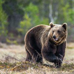 Пожилая женщина прогуливалась в лесу и наткнулась на диких медведей. Что произошло дальше, шокировало даже спасателей