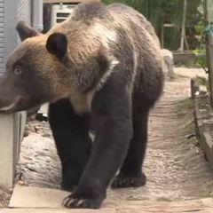 Не показывайте детям: гигантский медведь вышел к людям, и все замерли, когда увидели, что он делает
