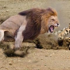 Такого вы еще не видели: нападение льва на своих сородичей попало на камеру