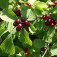 Какие ягоды смертельно опасны для человека: запомните этот список