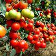 Любите помидоры? Вот как они влияют на организм