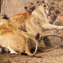 Ожесточенная битва гиен с львицами попала на видео