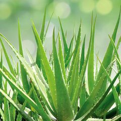 Эксперты назвали 6 комнатных растений, улучшающих работу легких