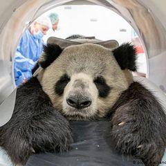 Старая панда пришла за помощью: действия людей шокируют